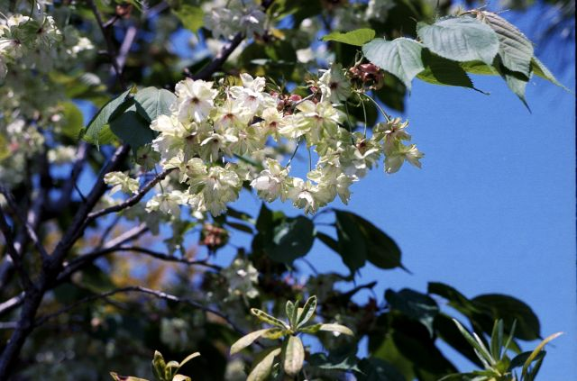 桜2011-07a