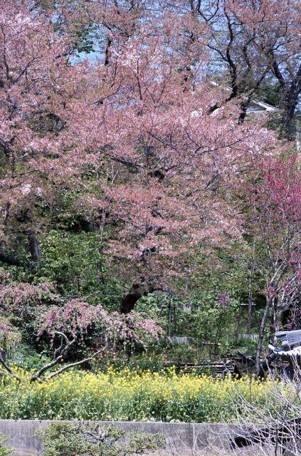 桜2011-08f