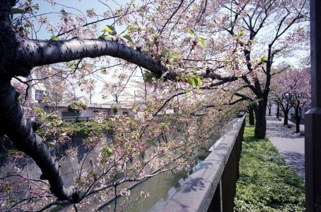 桜2011-08e