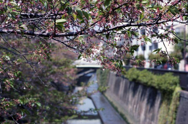 桜2011-08b
