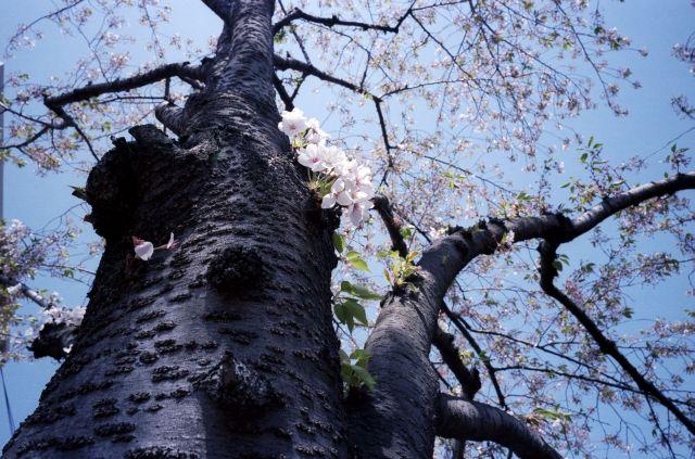 桜2011-08d