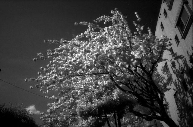 IRde桜02a