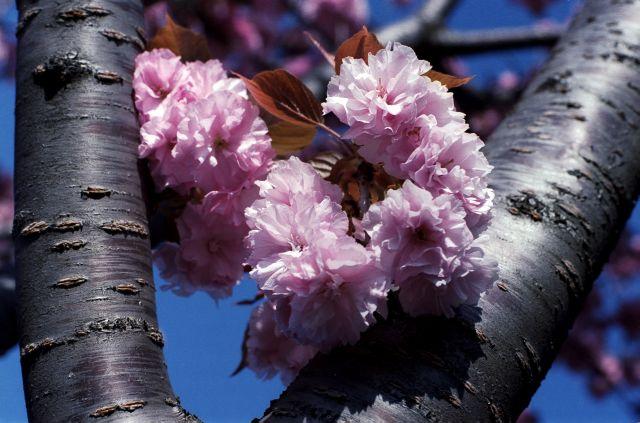 桜2011-10a