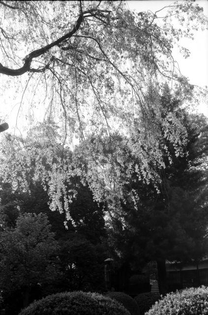 桜2011-11a