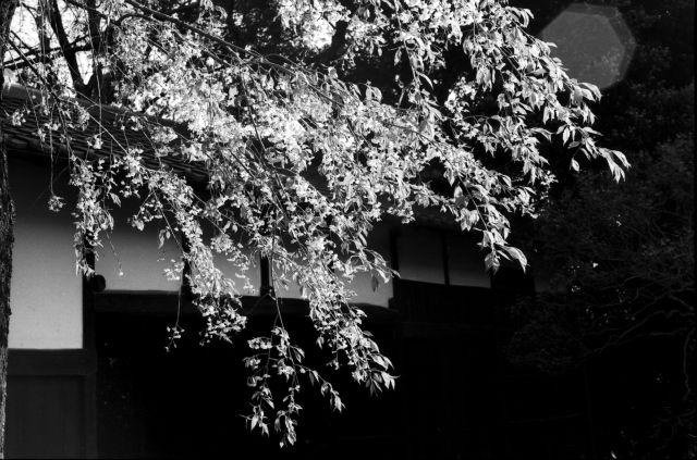 桜2011-11b