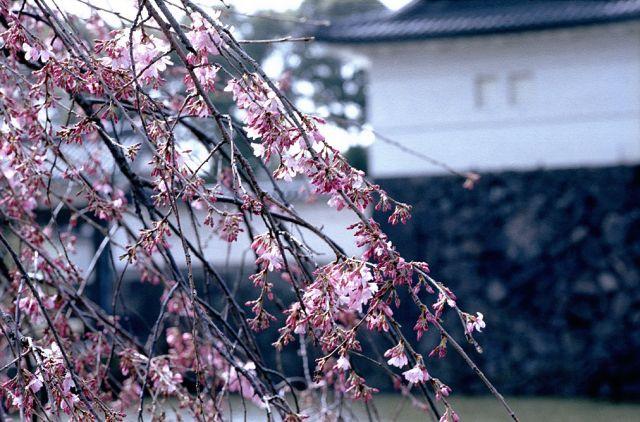 CherryBlossomInEdo