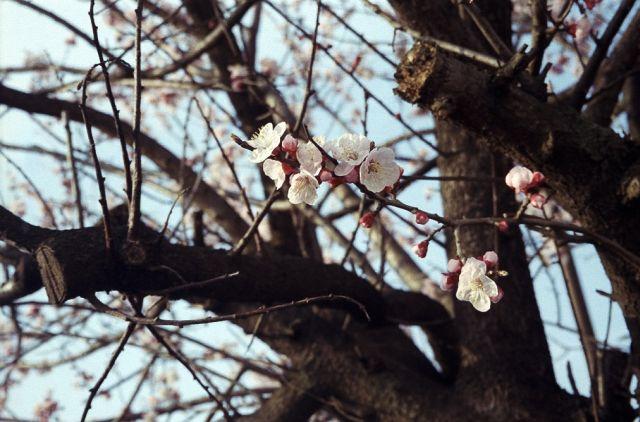 FlowerApricot