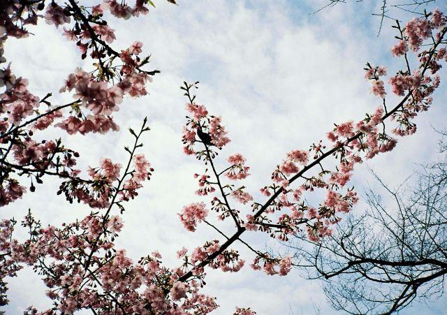 桜@2010-2-14