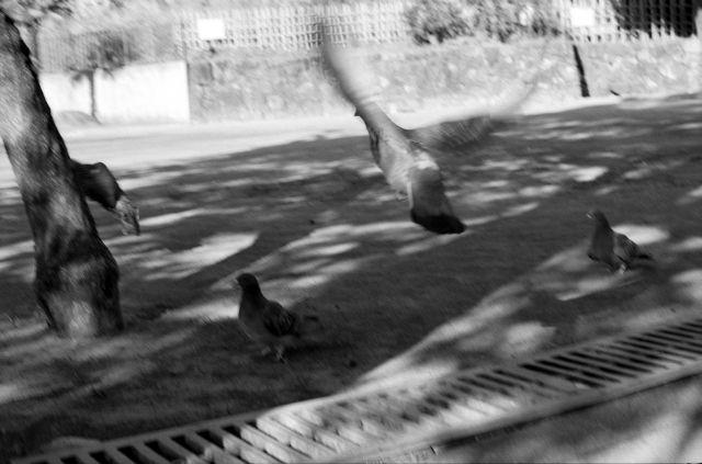 PigeonsFly02b