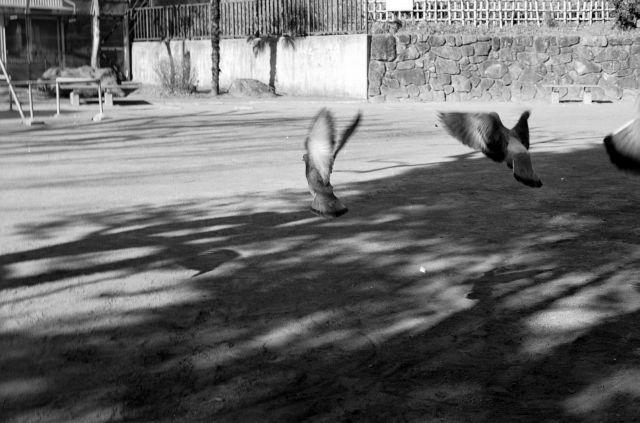 PigeonsFly02c