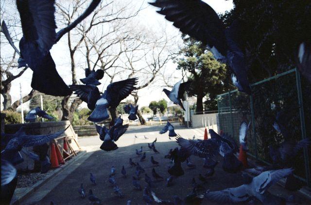 PigeonsFly03b