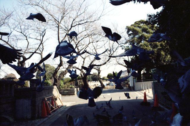 PigeonsFly03c