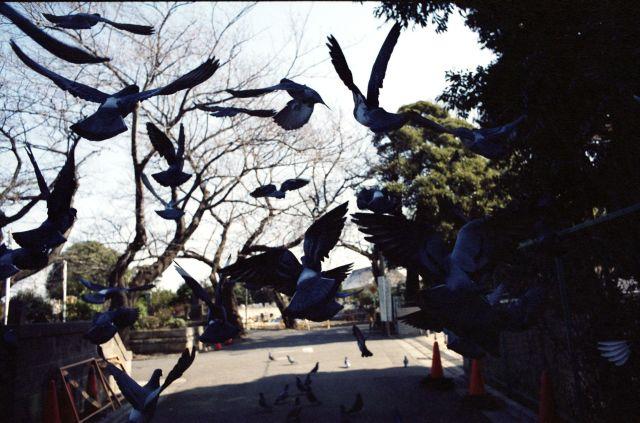 PigeonsFly03d