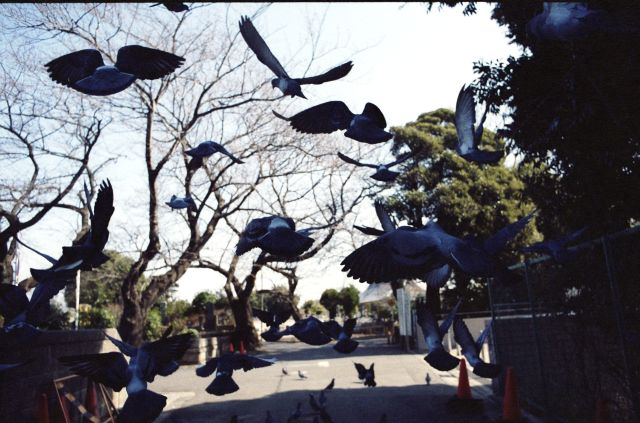 PigeonsFly03e