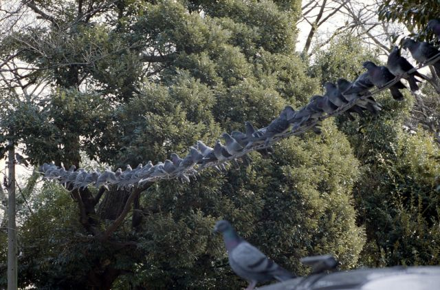 PigeonsInARow01a