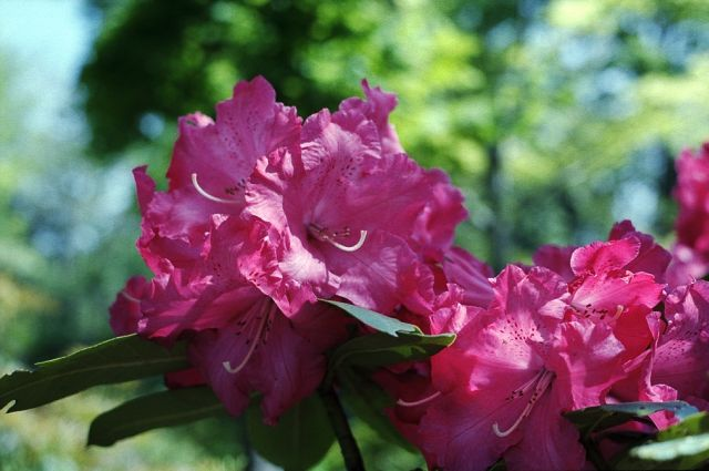 Rhododendron01