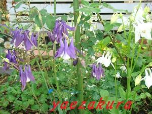 オダマキ 白と紫