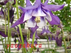 オダマキ 紫