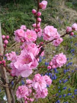 モモのピンク花