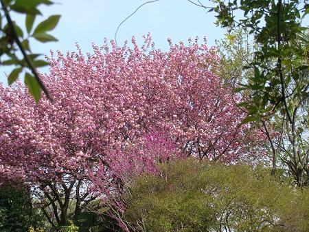 2010,5,3八重桜