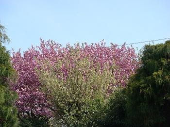 グニと八重桜