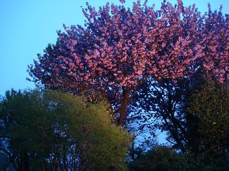 八重桜 夜景6