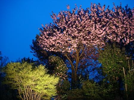八重桜 夜景5