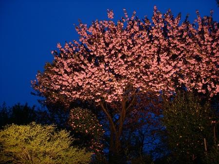 八重桜 夜景4