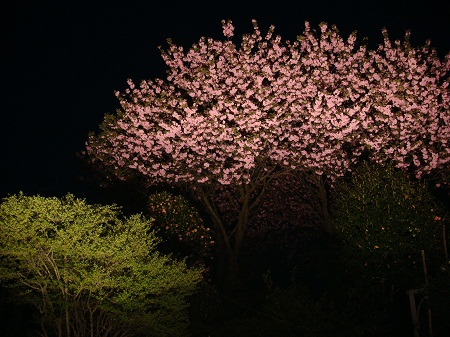 八重桜 夜景3