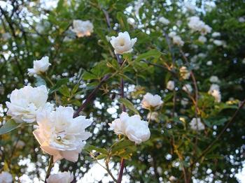 モッコウバラ 白花