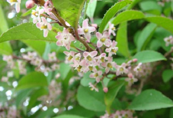 ウメモドキの花