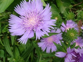 ストケシア紫