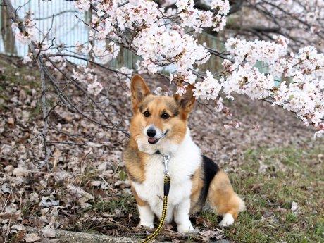 奈良の桜の方が早かったそうで・・・(*^^*)