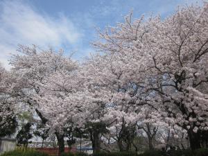 桜咲く2 008