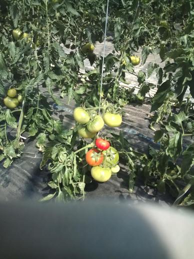 20100523_色づき始めたトマト.jpg