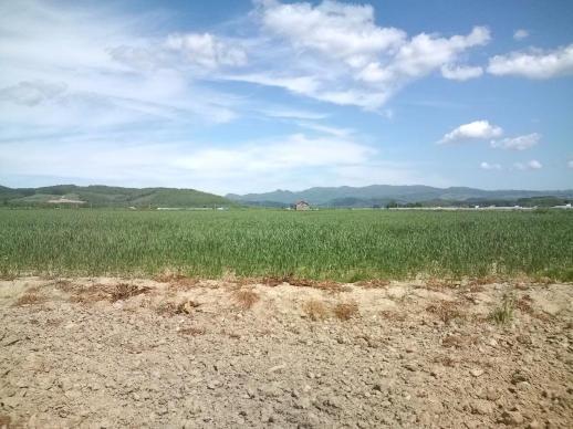 20100607_ハルユタカ畑