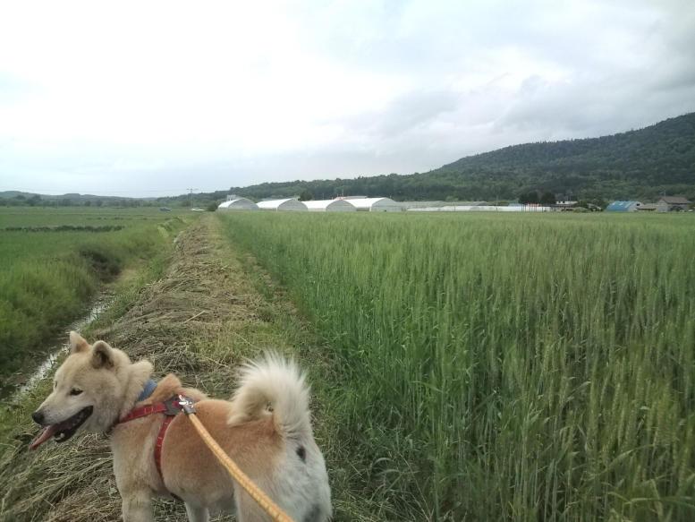 20100623_小麦畑と大ちゃん