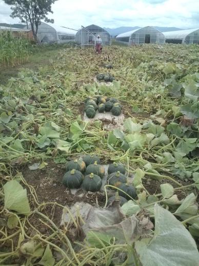 20100825_カボチャ収穫中