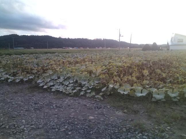 20100824_カボチャ畑