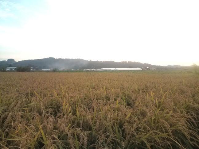 20100916_実った稲