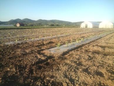 20110616_夕方のカボチャ畑