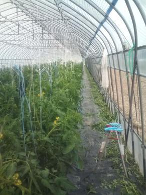 20110627_8番トマト誘引芽かき