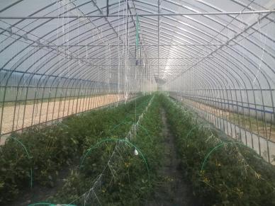 20110617_8番トマト