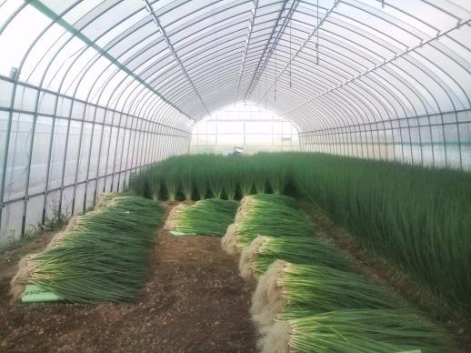 20110728_青ネギ収穫中
