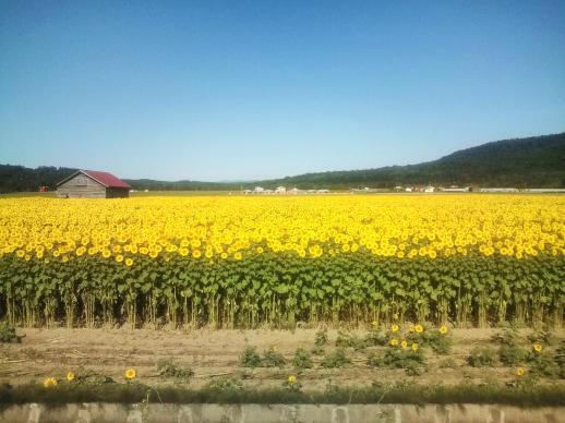 20110813_向日葵畑
