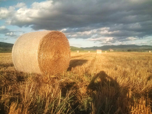 20110812_小麦畑