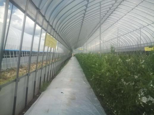 20110820_キヌサヤエンドウの収穫