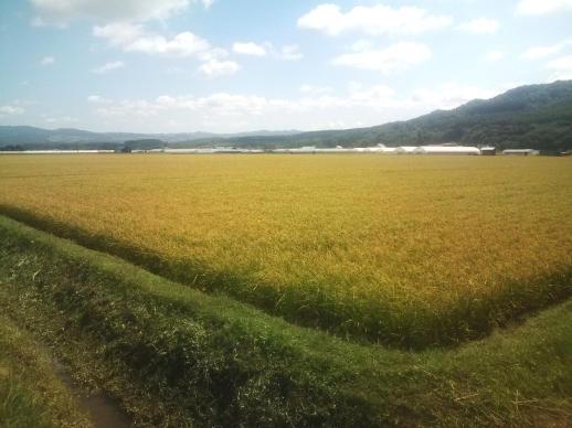 20110827_U村さんちの稲