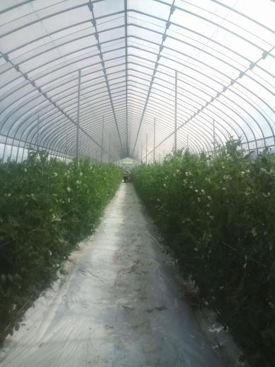 20110827_キヌサヤ収穫