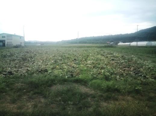 20110830_カボチャ畑